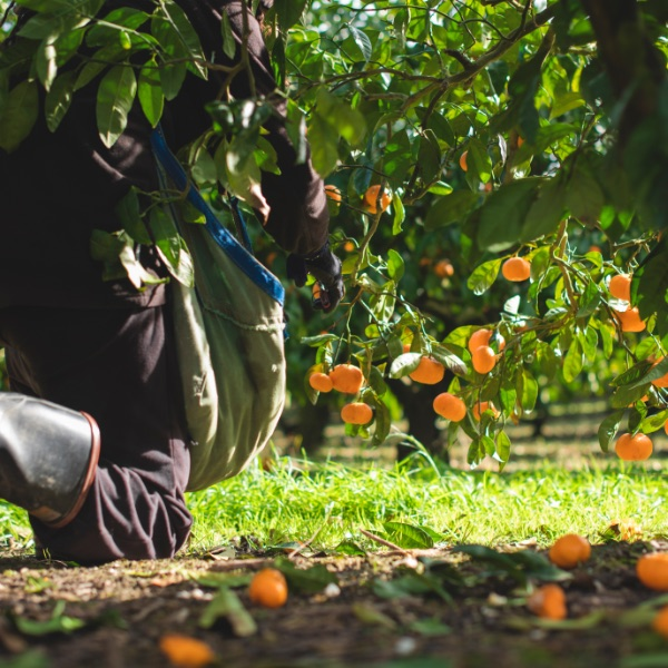 Kneeling for mandarins